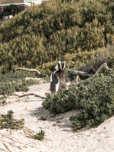 Highlights in Kapstadt Boulders Beach Pinguine