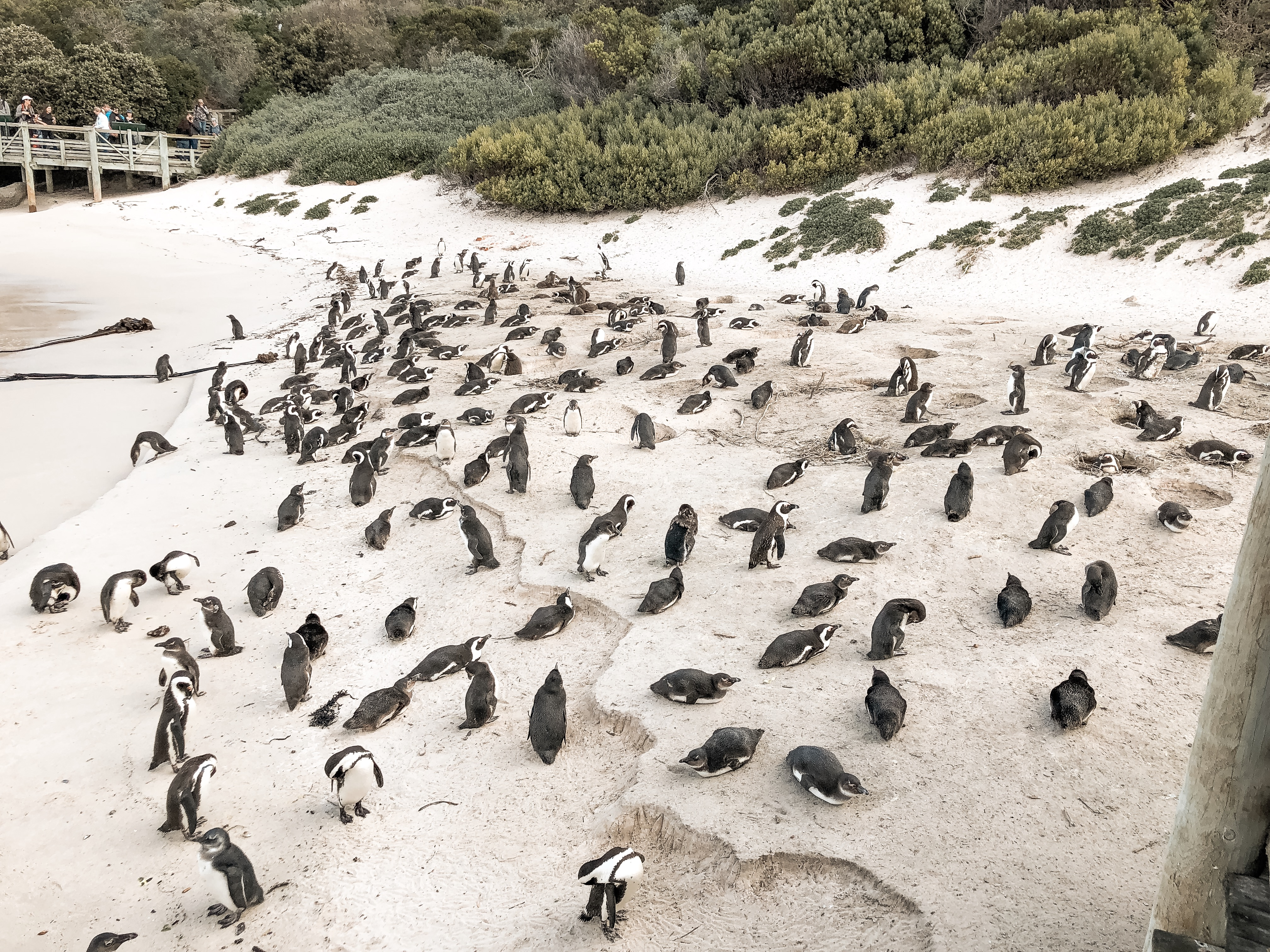Highlights in Kapstadt Boulders Beach Pinguine
